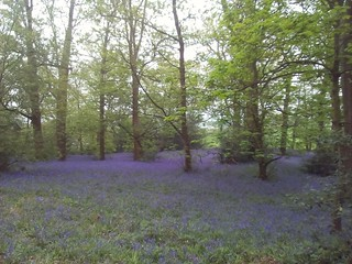 Bluebells in the lickeys