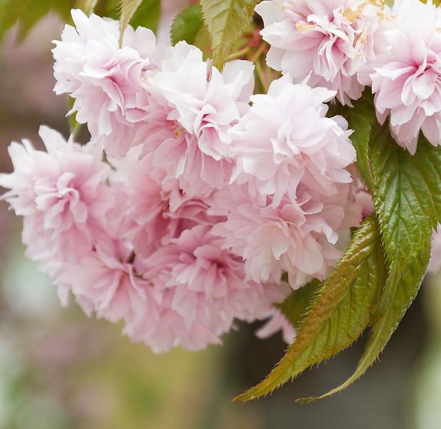 Japanese Cherry flowers- fleurs cerisiers du Japon - bloemen Japanse Sierkers