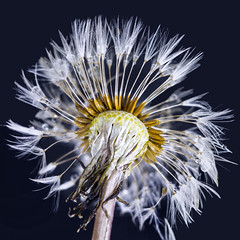 Fairy clock dandelion wee beastie
