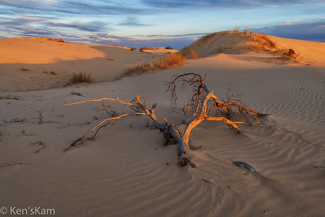 Fallen Tree in the Sandhills