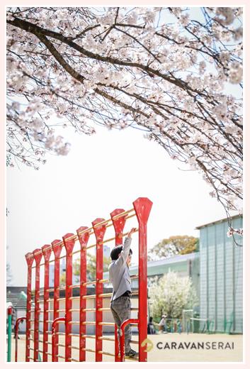 小学校校庭の満開の桜 肋木の登る男の子