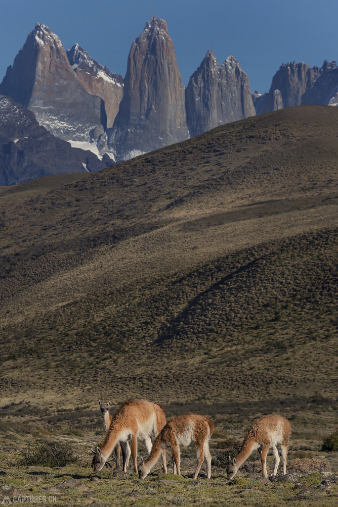 Guanacos in front of the Paines - Torres del Paine