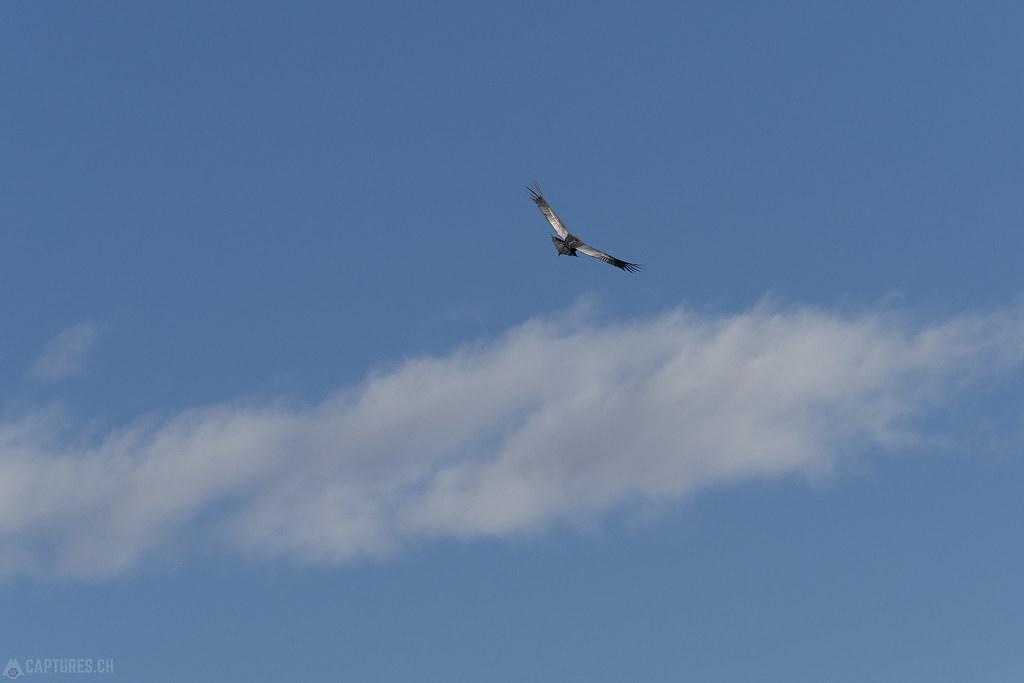 Condor in the air - Torres del Paine