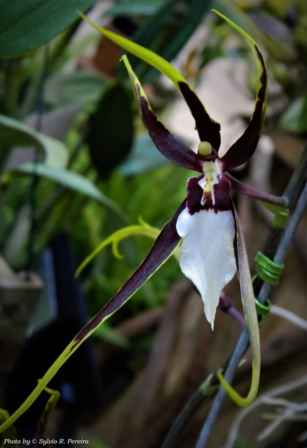 Miltassia Kauai's Choice 'Tropical Fragrance'