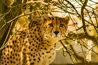 Marwell Cheetah By Sophie Hale