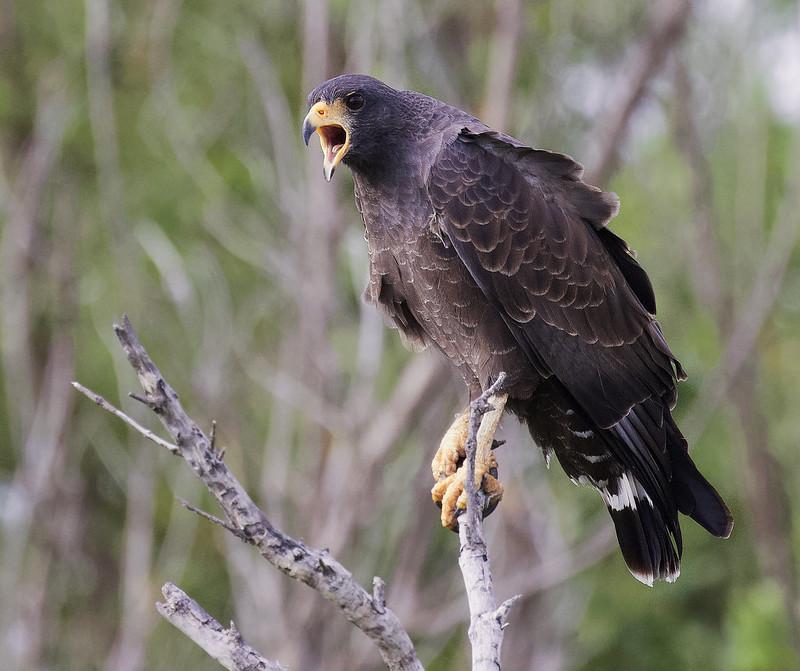 Cuban Black Hawk, Buteogallus gundlachii Ascanio_Cuba 2 199A1128