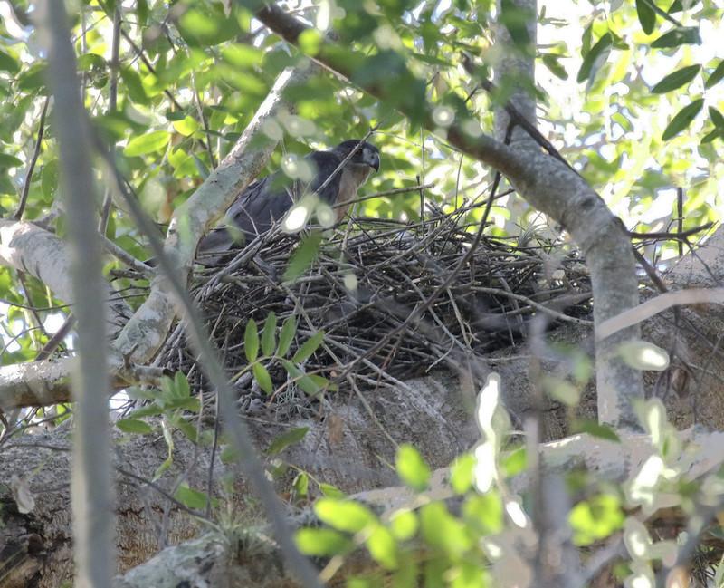 Gundlach's hawk, Accipiter gundlachii nesting Ascanio_Cub2 199A2111
