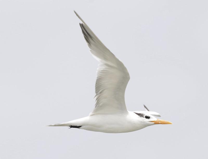 Royal tern, Thalasseus maximus Ascanio_Cub2 199A2052