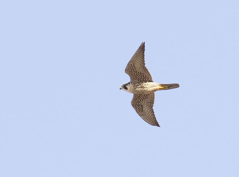 Peregrine Falcon, FAlco peregrinus Ascanio_Cub2 199A5131