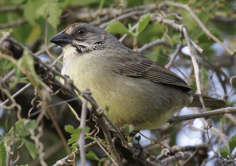 Zapata Sparrow, Torreornbis inexpectata Ascanio_Cuba 2 199A1585