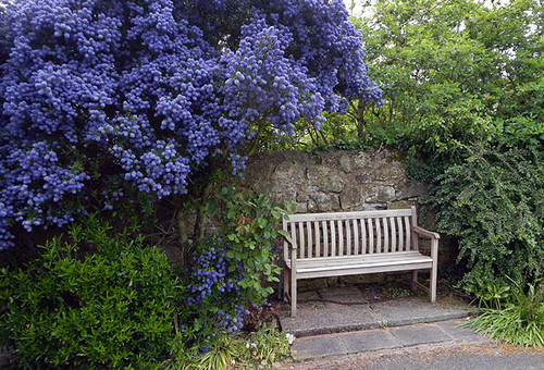 A charming wood bench under a thriving California lilac by Northup Church in Wales