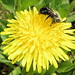 Small Bee Feeding On A Dandelion IMG_2034