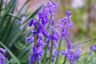 bluebells | by pepperberryfarm