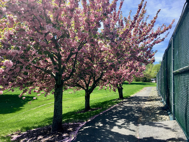 Garrison Forest ~ Kwanson Cherry trees