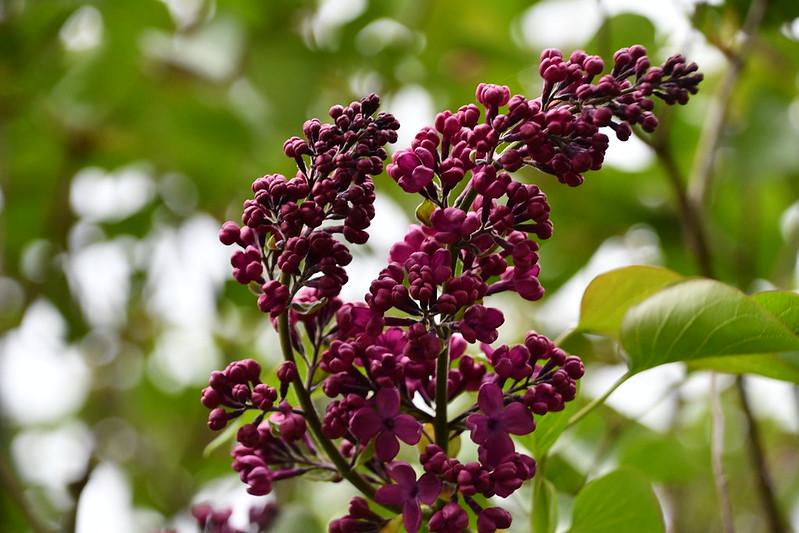 Lilac 26.04 (1)