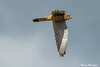 [CDG] Buse Variable (Buteo buteo) by thibou1