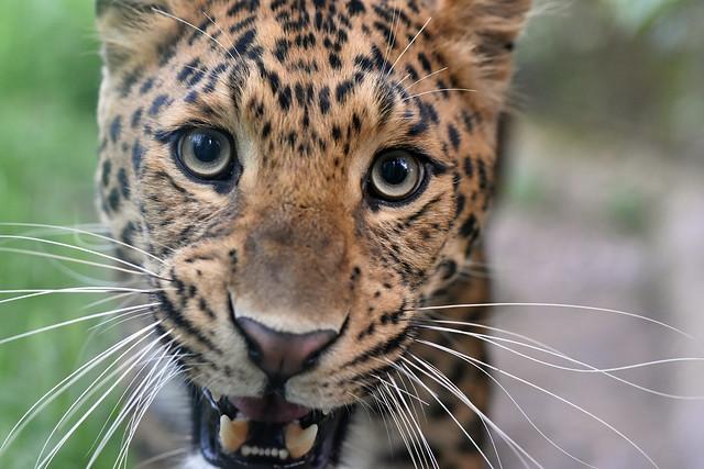 kineski leopard (Panthera pardus japonensis / Chinese Leopard / Chinesische Leopard)