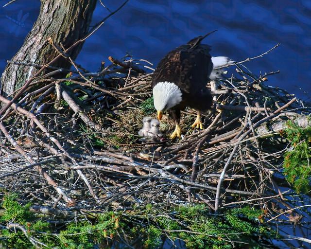 eaglets have landed . . .