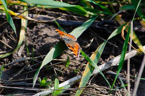 Tortoiseshell butterfly resting on grass leaf