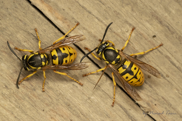 German yellowjacket, European wasp or German wasp (lat. Vespula  germanica)