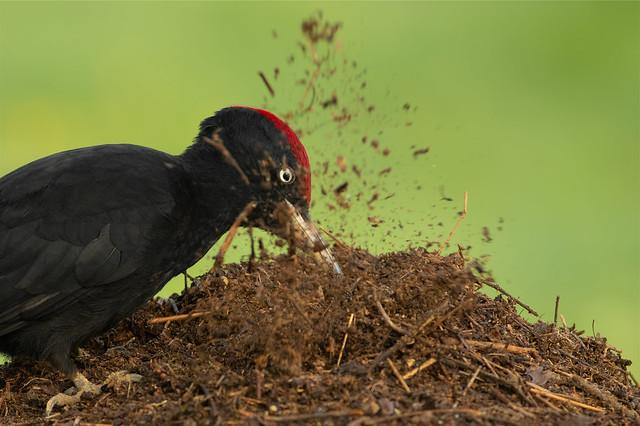 Pica-pau-preto, macho (Pito negro) Dryocopus martius - Black Woodpecker, male ( León, Spain)