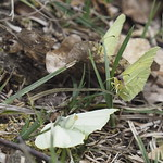 So, 21.04.19 - 14:39 - Gonepteryx rhamni  common brimstone