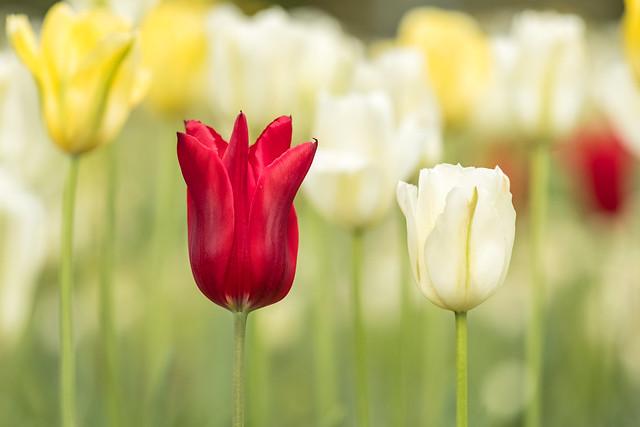 Tulpen auf der Erleninsel