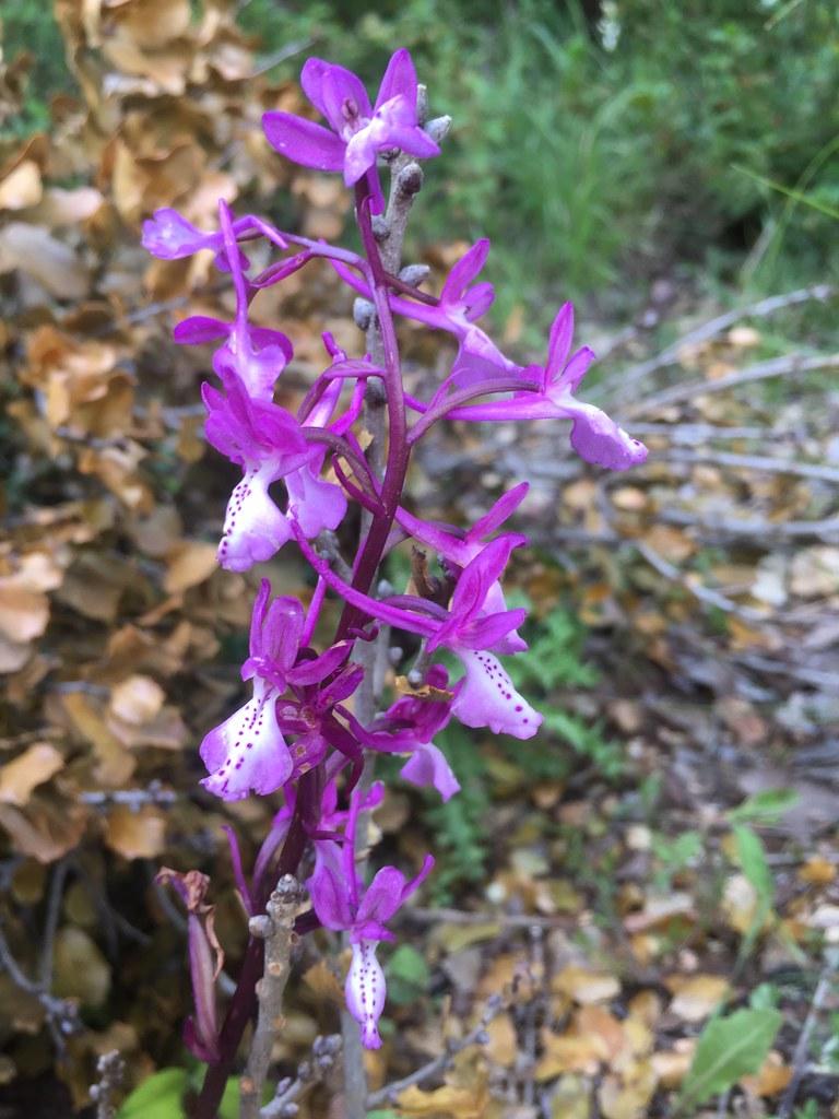 Orchis anatolica סחלב אנטולי