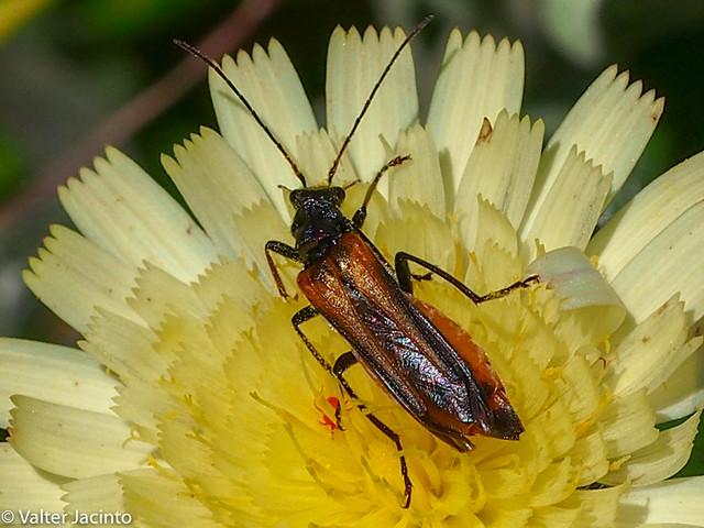 Escaravelho // Beetle (Oedemera simplex)