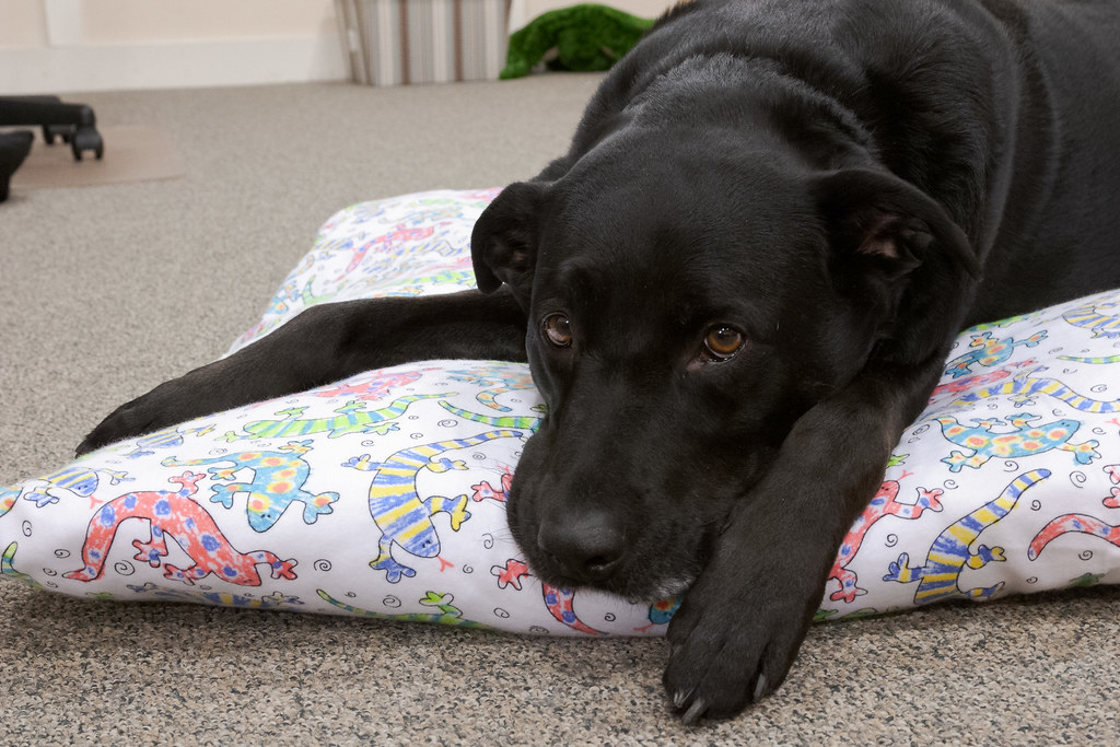 A close-up view of our dog Ellie watching me as she rests on her homemade dog bed in my wife's office in the basement