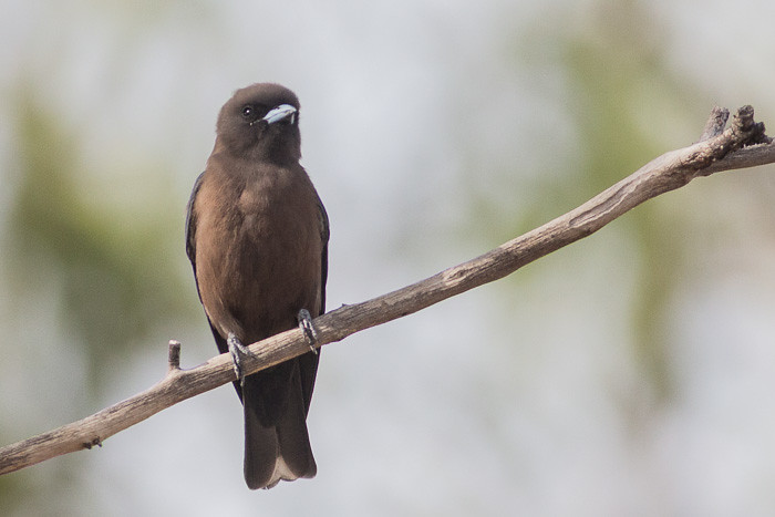 Little Woodswallow  - adult