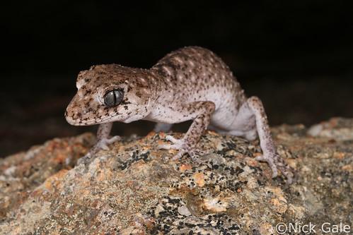 Border Thick-tailed Gecko (Uvidicolus sphyrurus) | by Nick Gale
