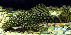 Ancistrus Black Short | by abbasyaquatic