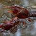 Red Swamp Crayfish - Photo (c) fra298, some rights reserved (CC BY-NC-ND)