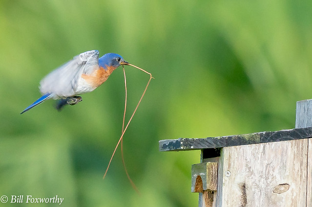 SONY-ILCE-A9, Bluebird,05806, 1-1600, f-9, ISO 1600, 100-400@560mm