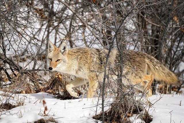 Coyote Snow