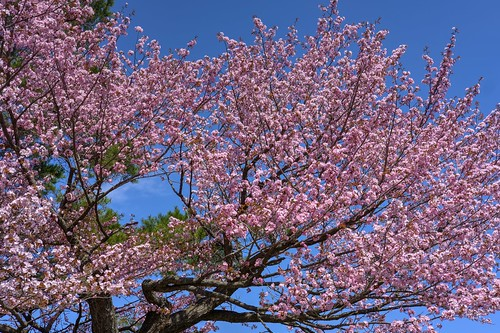 28-04-2019 Sakura in Maruyama area, Sapporo (9)