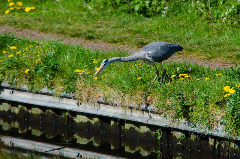 Leaning over, stepping off: heron