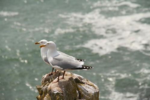 sea gulls, Pembrokeshire Coastal, Pembrokeshire, Wales | by cattan2011