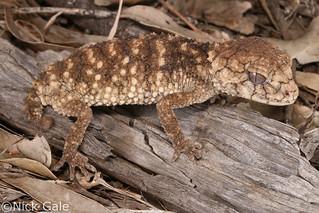 Prickly Knob-tailed Gecko (Nephrurus asper) | by Nick Gale