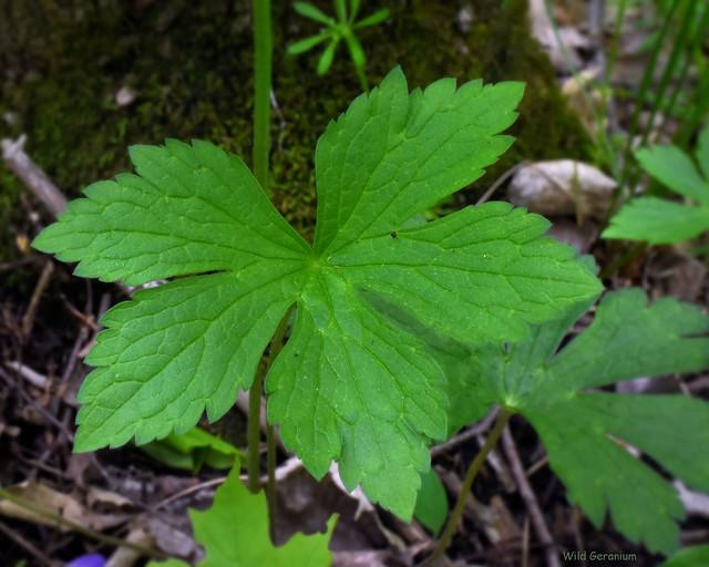 Wild Geranium - Geranium maculatum, leaves  -  Geraniaceae: Geranium family