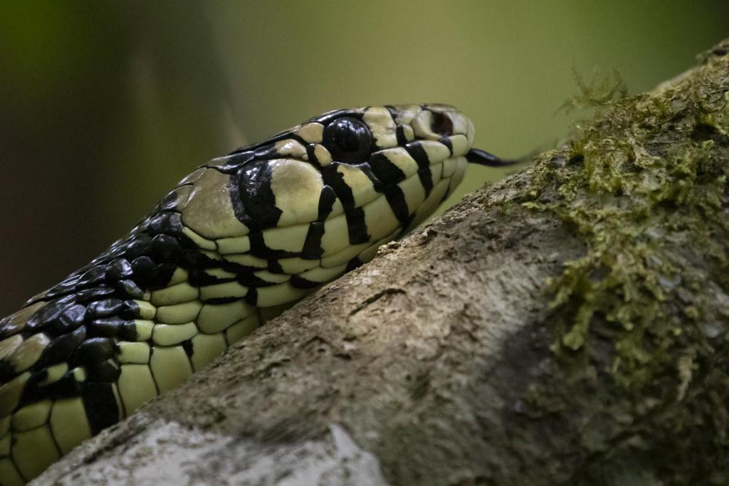 Spilotes pullatus / Tiger Ratsnake
