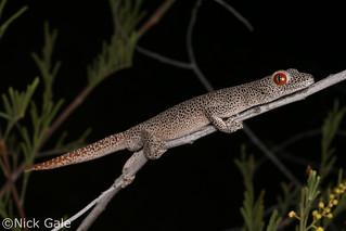 Golden-tailed Gecko (Strophurus taenicauda taenicauda) | by Nick Gale