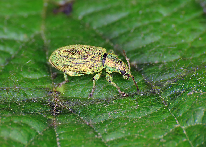 Green Leaf Beetle - Phyllobius maculicornis