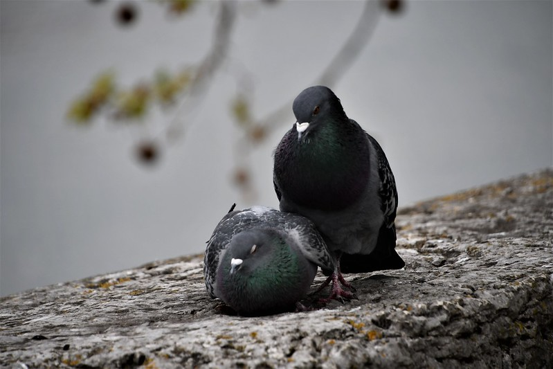 Pigeons 30.04 (6)