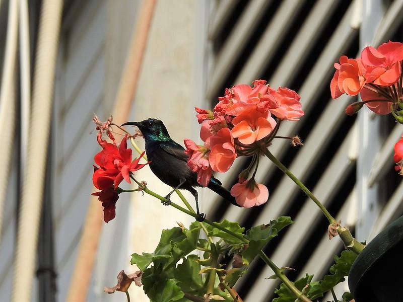 Палестинская нектарница, самец (лат. Cinnyris oseus)