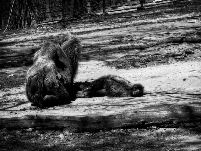camel and cub_ZOO_Brno_bw