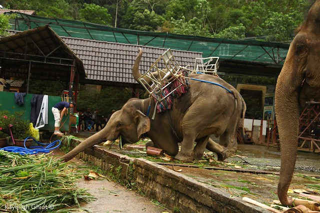 Elephant chained for rides in Vietnam