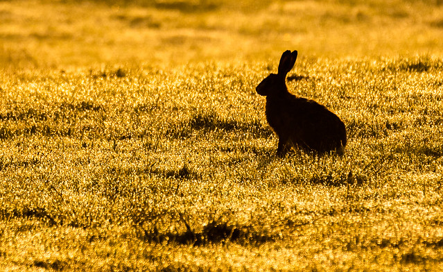 Brown Hare at Dawn