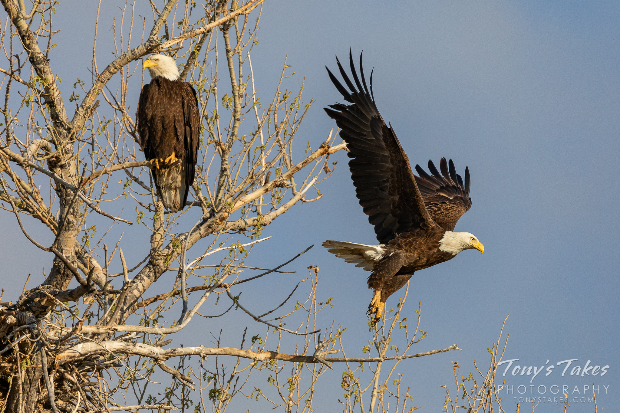 A male bald eagle departs its home while its mate keeps watch. (© Tony's Takes)